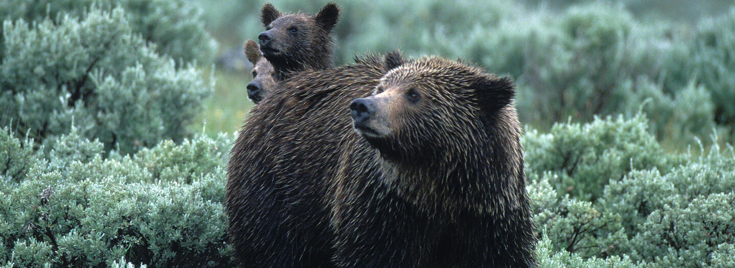 Grizzly bear mother and cubs in Yellowstone National Park