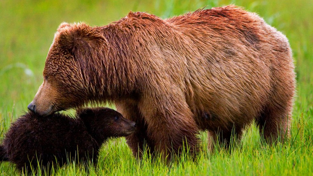 Grizzly mother and small cub
