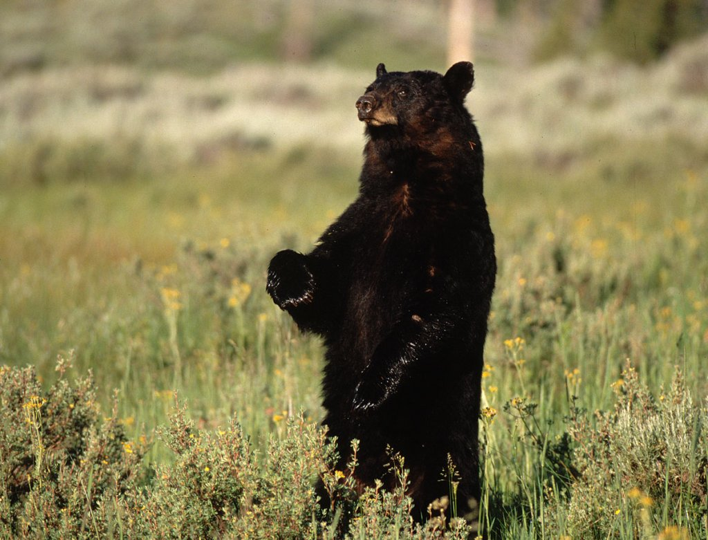 Black bear standing on hind legs