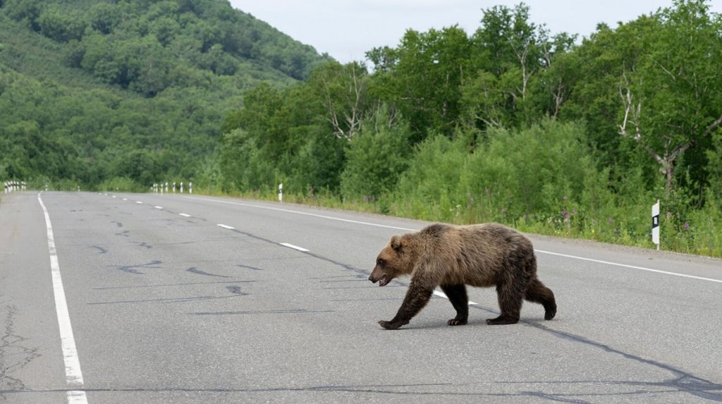 Young grizzly crossing road