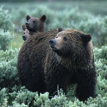 Grizzly family in sage