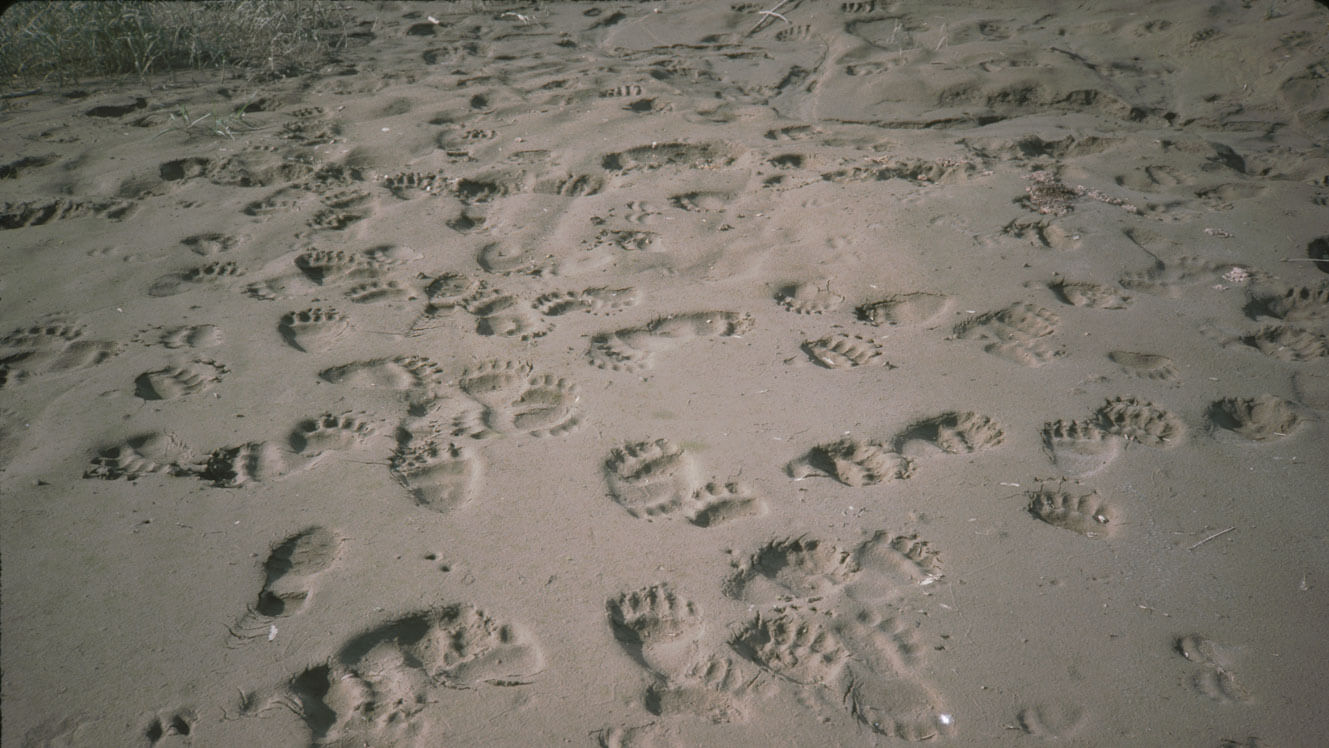 Grizzly tracks on a beach