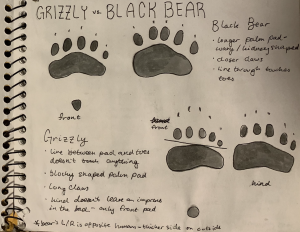 Journal drawing comparing grizzly and black bear prints