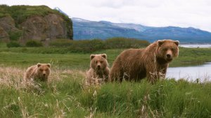 Brown bear and cubs in Katmai NP