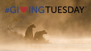 Grizzly bears on riverbank + Giving Tuesday logo