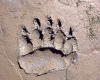 Grizzly Bear Track (mud)