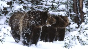 grizzlies in snow
