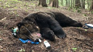 Grizzly 1017 while being collared