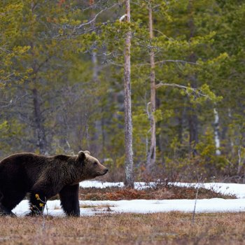 Lone grizzly in forest