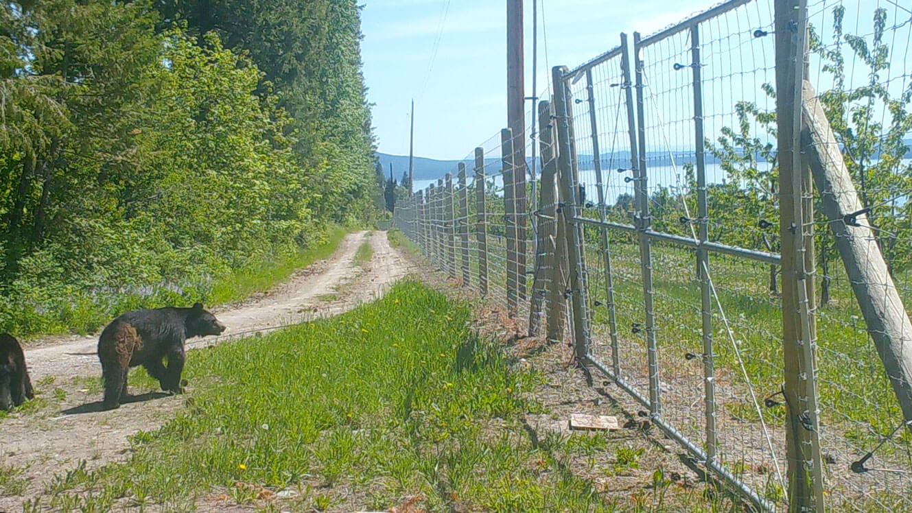 Black bear and cherry orchard fence