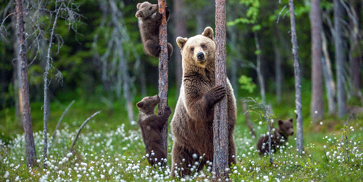 Grizzly bears and cubs in forest