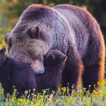 Grizzly sow and cubs in wildflower meadow